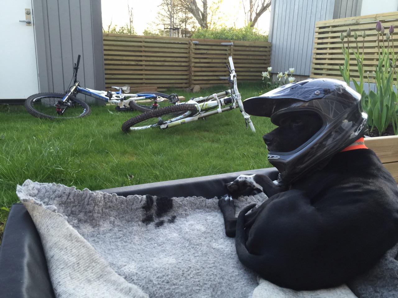 Hund med sykkelhjelm