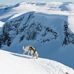 Hunden Ludo på vei opp Hesten